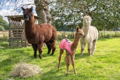 Baby alpaca Gabe